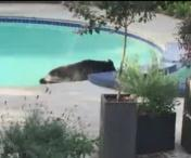 Un urs se scalda in piscina unei case - VIDEO