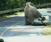 VIDEO INCREDIBIL! Un elefant in calduri zdrobeste o masina, pe strada