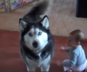 Un husky se intrece in cantat cu un bebelus - VIDEO
